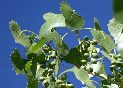 Unripe-or-developing-fruit-of-Cottonwood