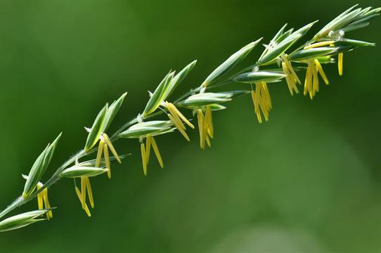 Fruit-of-Couch-grass