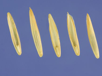 Seed-of-Couch-grass