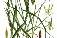 Couch-Grass-Plant-Illustration