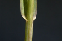 Stem-of-Couch-Grass