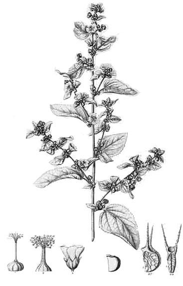 Plant-Illustration-of-Country-Mallow