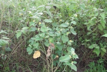 Country-Mallow-plant-growing-wild