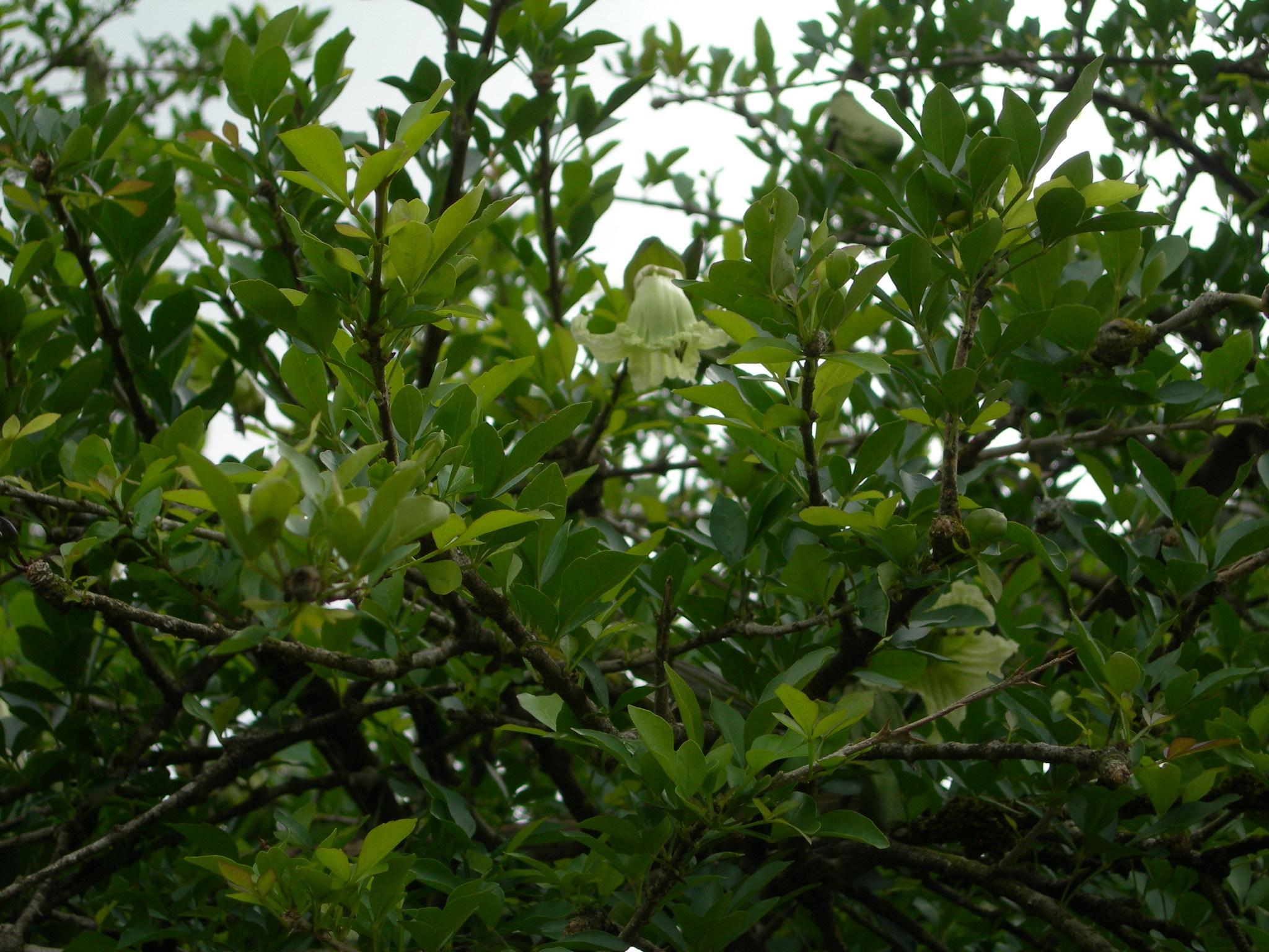 Cow-Okra-leaves