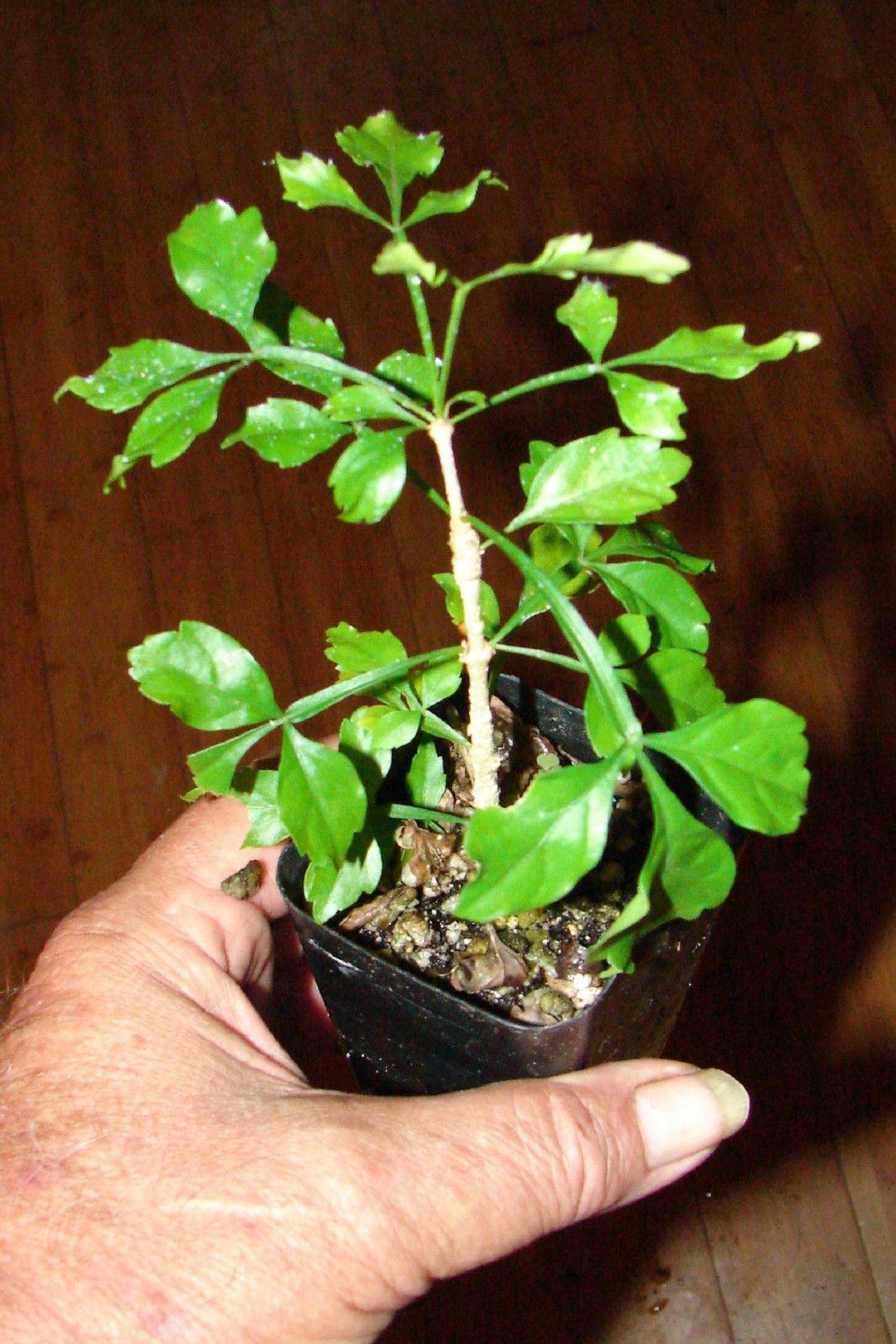 Cow-Okra-seedlings
