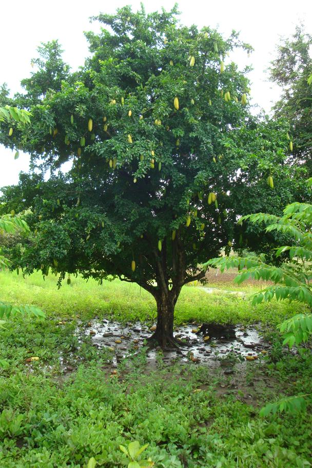 Cow-Okra-tree