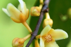 Cowa-Mangosteen-flower-with-buds
