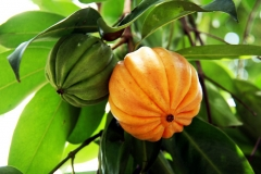 Cowa-Mangosteen-fruits