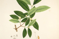 Plant-illustration-of-Cowa-Mangosteen