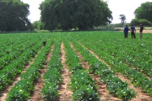 Cowpea-farm