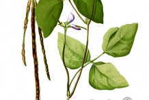 Plant-illustration-of-Cowpea