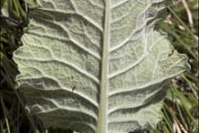 Backward-view-of-Cowslip-leaves