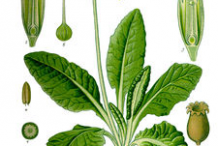 Cowslip-plant-Illustration