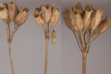Dried-seed-heads-of-Cowslip