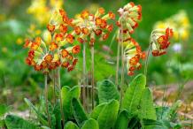 Cowslip-plant