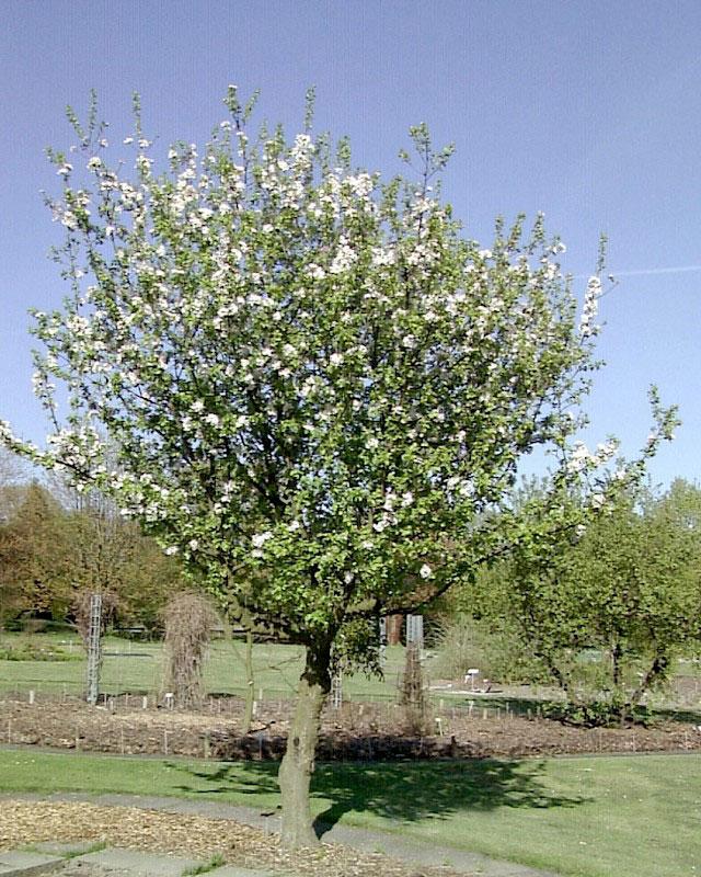 Crab-apple-Tree-during-flowering