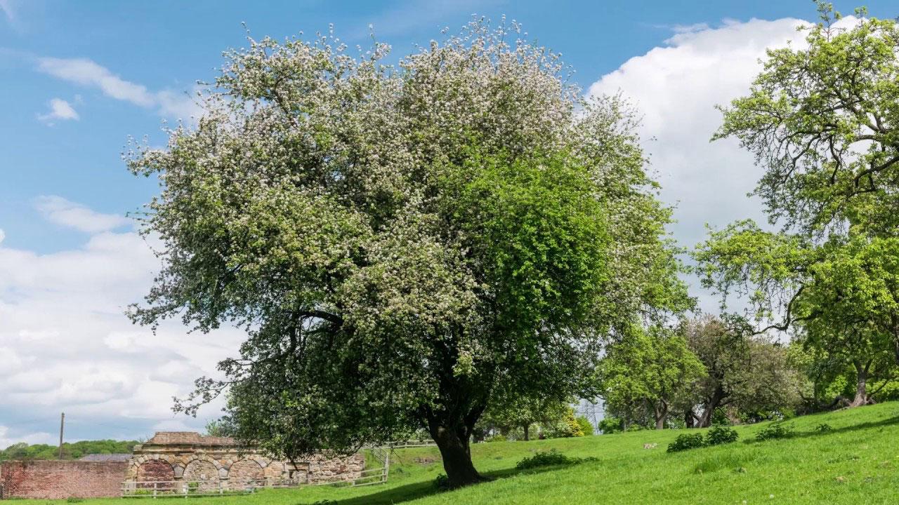 Crab-apple-tree