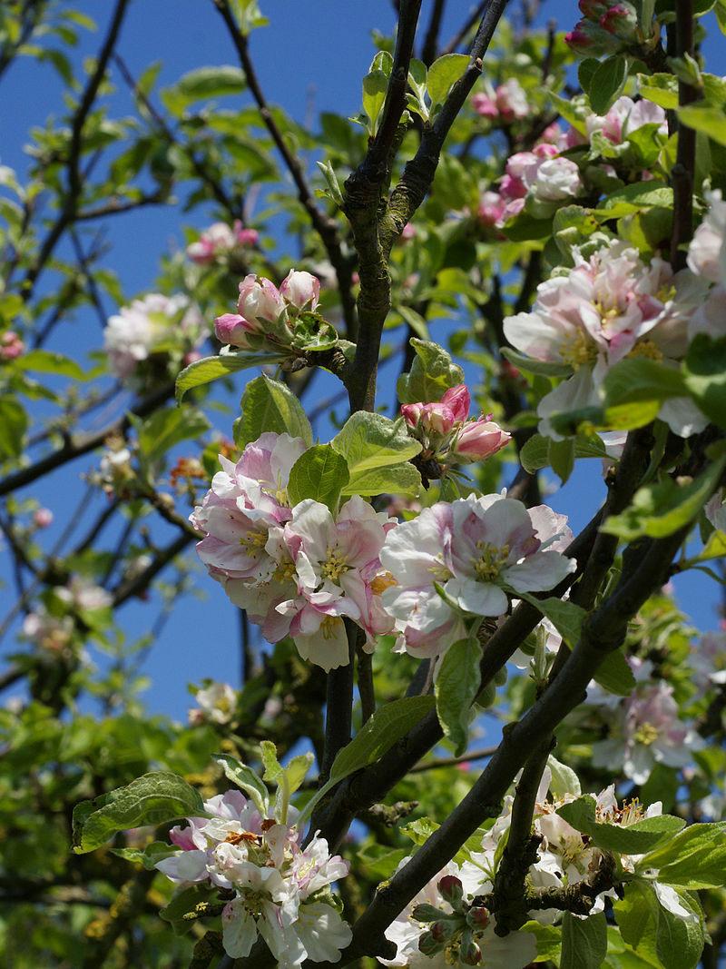 Flowers-of-Crab-apple-tree