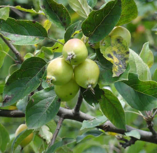 Immature-fruits-of-Crab-apple