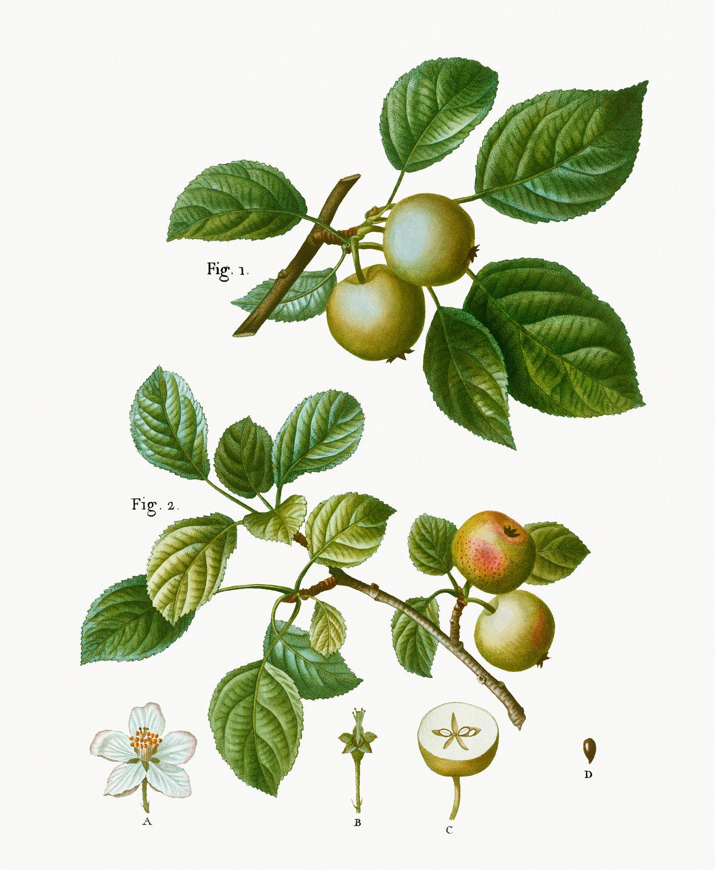 Plant-Illustration-of-Crab-apple
