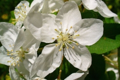 Closer-view-of-flower-of-Crab-apple