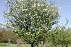 Crab-apple-Tree-during-flowering