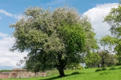 Crab-apple-tree