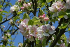Flowers-of-Crab-apple-tree