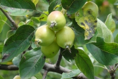 Immature-fruits-of-Crab-apple
