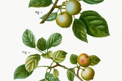 Plant-Illustration-of-Crab-apple