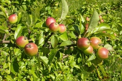 Ripe-Crab-apple-fruits-on-the-tree