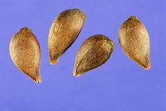 Seeds-of-Crab-apple