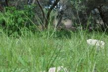 Crab-Grass-growing-wild