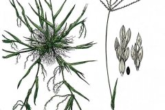 Plant-Illustration-of-Crab-Grass