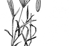 Sketch-of-Crab-Grass