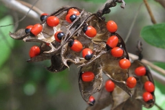 Crabs-eye-Rosary pea