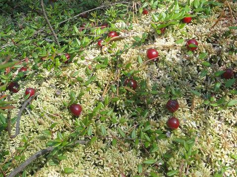 Cranberries-Growing-Wild