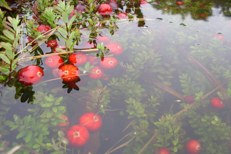 Cranberry-growing-inside-water