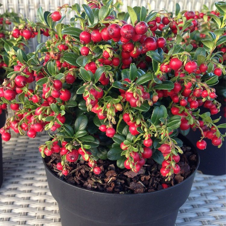 Cranberry-on-the-pot