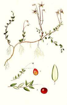 Plant-Illustration-of-Cranberry