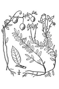 Sketch-of-Cranberries
