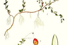 Plant-Illustration-of-Cranberry