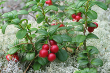 Cranberry-on-the-plant