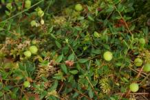 Unripe-Cranberries