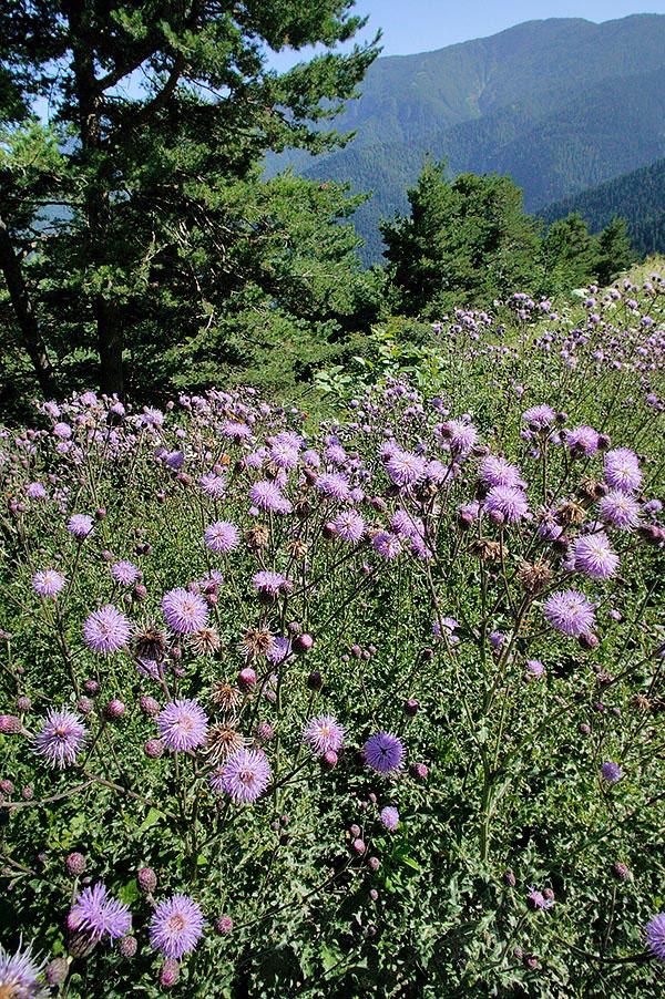 Creeping-thistle-Plant-growing-wild