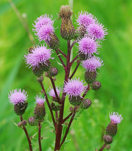 Inflorescence-of-Creeping-thistle