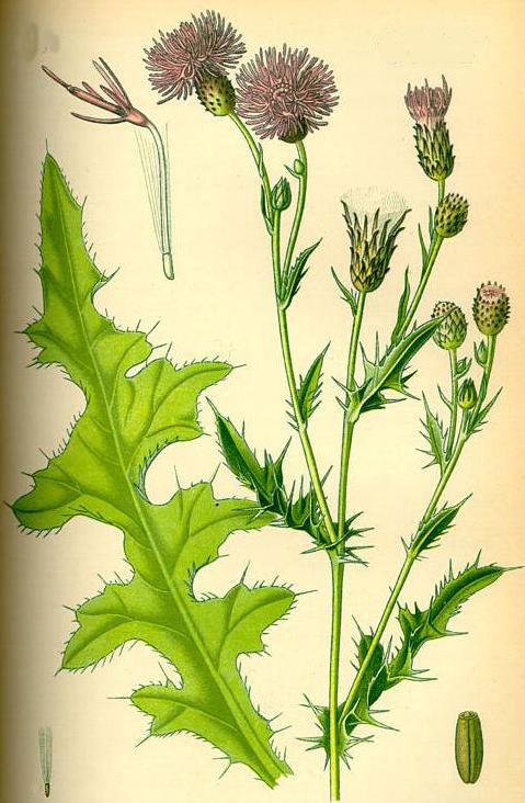 Plant-Illustration-of-Creeping-thistle