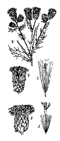 Sketch-of-Creeping-thistle