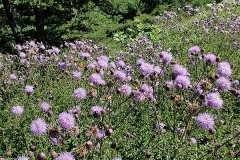 Creeping-thistle-Plant-growing-wild