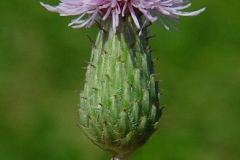 Flowering-head-of-Creeping-thistle